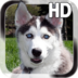 Puppy Husky Live Wallpaper apk file