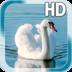 Swan Bird Live Wallpaper apk file