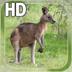 Kangaroo Australia LWP apk file